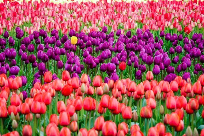 wyjazdy weekendowe holandia amsterdam festiwal tulipanów keukenhof funclub-1